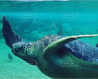 水の下で泳ぐカメの写真・画像素材[2942165]