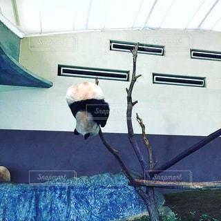 パンダの実の写真・画像素材[2956127]