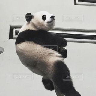 ご機嫌パンダの写真・画像素材[2967841]
