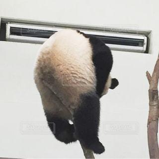 お尻も可愛いパンダの写真・画像素材[3004927]