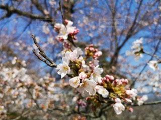 桜の写真・画像素材[2961704]