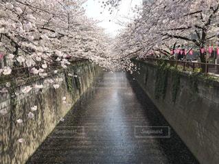 ハートの桜 - No.1134759