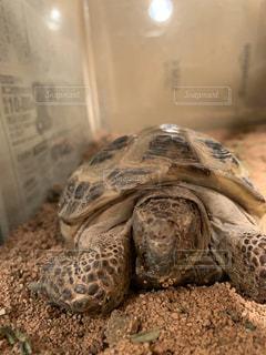 眠ってるリクガメの写真・画像素材[2909231]