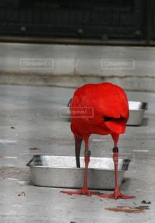 餌をついばむ赤い鳥の写真・画像素材[2918288]