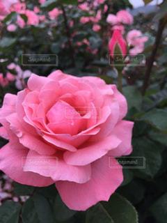 薔薇園の写真・画像素材[2927846]
