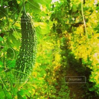 野菜の写真・画像素材[112533]