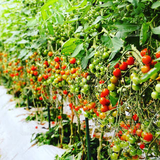 トマトの写真・画像素材[125364]
