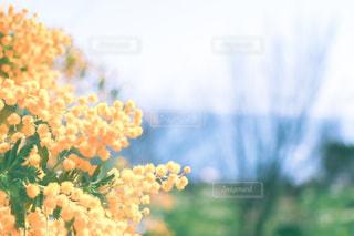 ミモザの写真・画像素材[2995613]