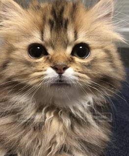 カメラを見ている猫のクローズアップの写真・画像素材[2914673]