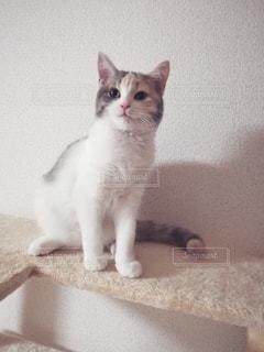 キャットタワーと猫の写真・画像素材[2918185]