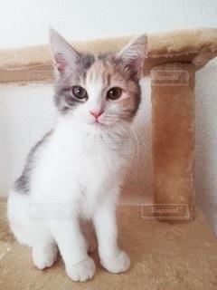 キャットタワーに座る猫の写真・画像素材[2958947]