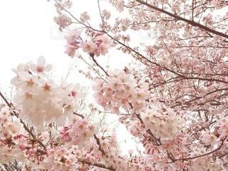 桜のクローズアップの写真・画像素材[2987397]