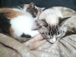 毛布の上で寝ている猫の写真・画像素材[3057956]