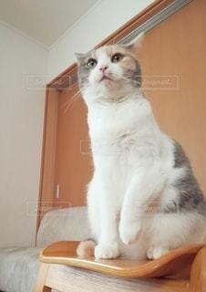 椅子に座っている猫の写真・画像素材[3079781]