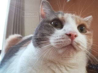 カメラを見ている猫のクローズアップの写真・画像素材[3088249]
