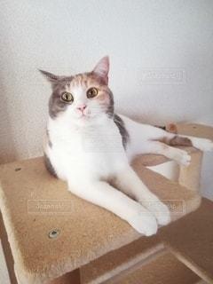 キャットタワーの猫の写真・画像素材[3107857]