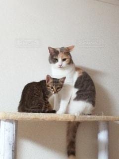 キャットタワーの上に座っている2匹の猫の写真・画像素材[3293640]