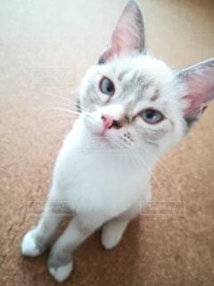 カメラを見ている白い猫の写真・画像素材[3909251]