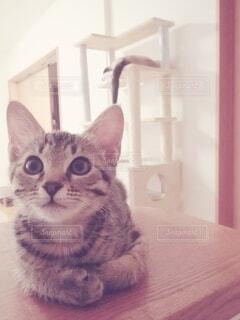カウンターの上のキジトラ子猫の写真・画像素材[3909268]