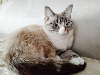 ソファの上の猫の写真・画像素材[4122359]