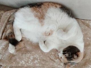 ソファで寝ている猫の写真・画像素材[4124660]