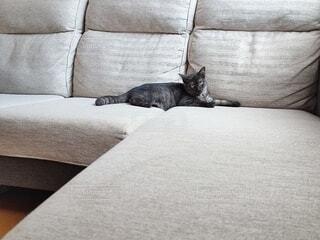 ソファに横たわる猫の写真・画像素材[4770263]