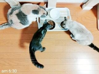 ご飯を食べる猫の写真・画像素材[4770266]