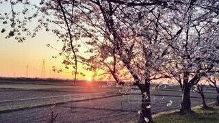 夕陽🌇と桜🌸の写真・画像素材[4328418]