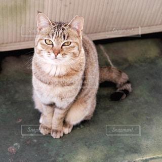 サクラ猫の写真・画像素材[3079303]