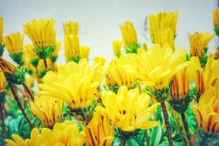 黄色い花々の写真・画像素材[3128754]
