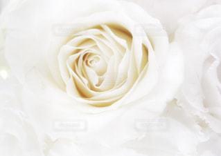 白い薔薇の写真・画像素材[3155046]