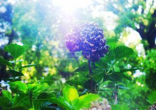 輝く葉と枯れた花の写真・画像素材[3239243]