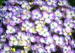 紫陽花の花びらの写真・画像素材[3277750]