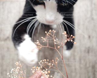 ハチワレ猫の写真・画像素材[3821773]
