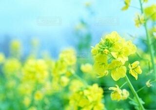 菜の花畑の写真・画像素材[4164042]