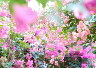 ブーゲンビリアのピンクの世界の写真・画像素材[4224739]