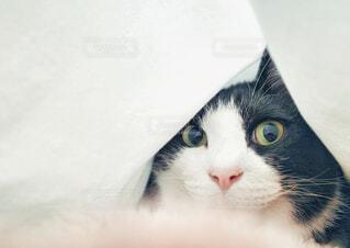 ビックリ顔の猫の写真・画像素材[4302967]