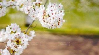 桜の写真・画像素材[2925619]