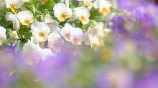 ビオラの恋人の写真・画像素材[2925716]