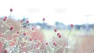 千日紅の写真・画像素材[2926215]