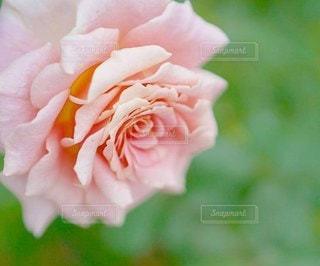 ピンクのミニバラの写真・画像素材[2926216]