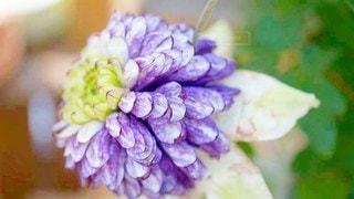八重咲きのクレマチスの写真・画像素材[2926233]