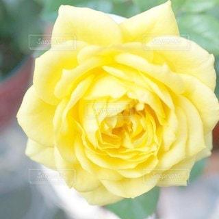 黄色い花のクローズアップの写真・画像素材[2926229]