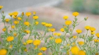 黄色い花に元気をもらえる。の写真・画像素材[2926619]