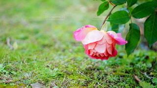 緑の葉を持つピンクの花の写真・画像素材[2926628]