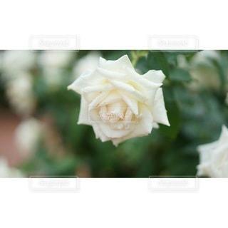 花のクローズアップの写真・画像素材[2927122]