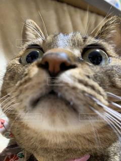 口を開けた猫のクローズアップの写真・画像素材[2926804]