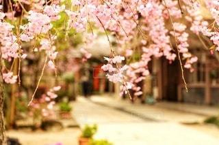 枝垂れ桜の写真・画像素材[3011122]