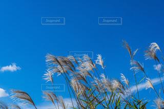 青空背景にススキが揺れるの写真・画像素材[4675123]