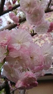 我が家の八重桜の写真・画像素材[3087658]